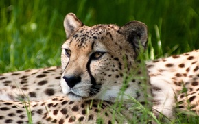 Picture look, nature, Cheetah
