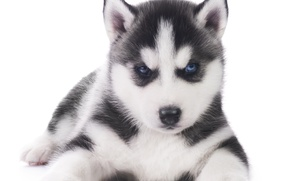 Picture dog, puppy, husky