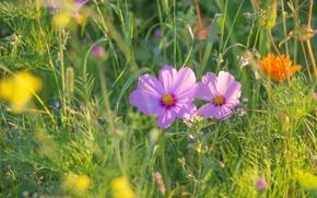 Picture grass, space, kosmeya