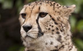 Picture mustache, look, face, predator, Cheetah