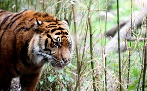 Picture tiger, background, nature