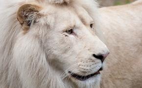 Picture cat, face, mane, white lion