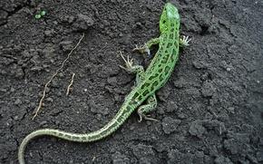Picture lizard, Earth, green lizard