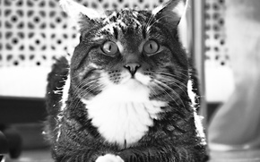 Picture eyes, Cat, black and white, striped, ears