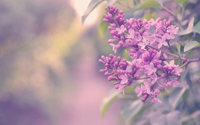 Wallpaper flowers, color, Bush, branch, lilac