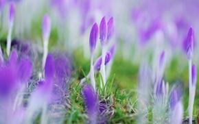 Picture flowers, spring, crocuses, closed
