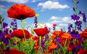 Picture summer, flowers, Maki, flowering, field, poppy, poppy field, wild flowers