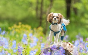 Picture stone, dog, bokeh, Shih Tzu, flowers