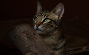 Picture cat, cat, background, animal, widescreen, Wallpaper, wallpaper, green eyes, green eyes, widescreen, cat, background, animal, …