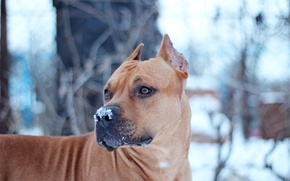 Picture Dog, Snow, Staffor