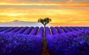 Picture field, the sun, light, nature, tree, lavender