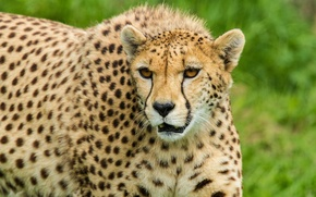Picture cat, face, Cheetah