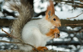 Picture branch, food, Squirrel in winter plumage