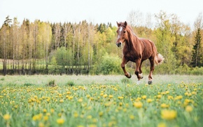 Picture field, summer, horse