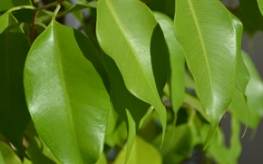 Picture leaves, nature, ficus