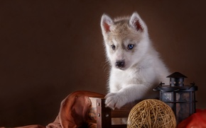 Picture tangle, lantern, puppy, husky
