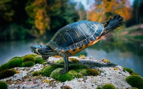 Picture stone, moss, turtle, dance, ninja turtle