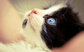 Picture cat, macro, black and white, muzzle, kitty, blue eyes, friendly