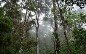 Picture rain, moisture, Selva, rainforest, mossy trees in mist