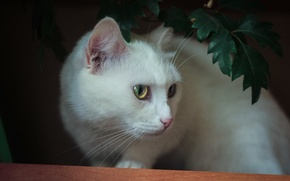 Picture cat, cats, white, cat, cat Wallpapers