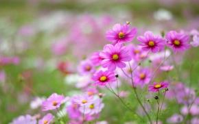 Picture field, macro, flowers, petals, blur, pink, white, Kosmeya