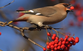 Picture berries, bird, branch, feathers, beak