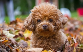 Picture look, leaves, dog, puppy, poodle