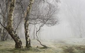 Picture summer, fog, birch