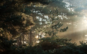 Picture forest, morning, Suffolk