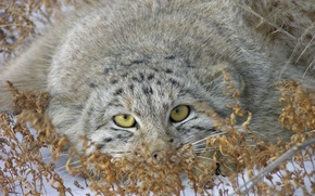 Picture snow, photo, manul