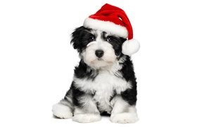 Picture animals, red, holiday, black and white, new year, Christmas, dog, cute, puppy, white background, Santa, …