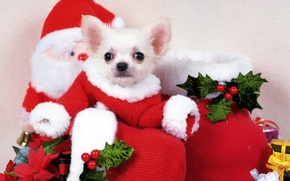 Picture dogs, holiday, puppy