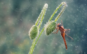 Picture drops, rain, Mac, dragonfly, buds, Wallpaper from lolita777
