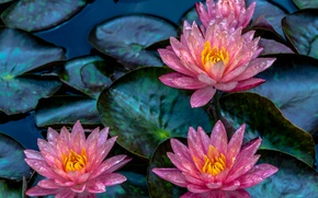 Picture leaves, Lily, Nymphaeum, water Lily