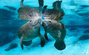 Picture Manatees, water, river, transparent