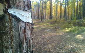 Picture forest, Macro, birch