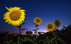 Picture the sky, sunflowers, nature