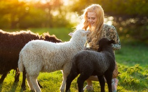 Picture summer, girl, the sun, sheep