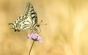 Picture flower, pink, butterfly, swallowtail