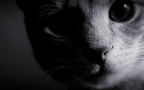 Wallpaper cat, black and white, background, Wallpaper, muzzle, photo, wool, nose, eyes
