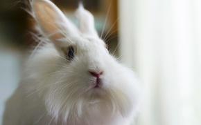 Picture white, fluffy, rabbit, rabbit, bunny, Zayats, fluffy