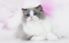Picture cat, eyes, cat, look, fluffy, lies, face, handsome, dignity, blue-eyed, ragdoll, CDA rolls