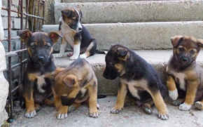 Picture animals, Puppies, dogs, brood, relatives