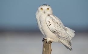 Picture the sky, nature, bird, feathers, snowy owl