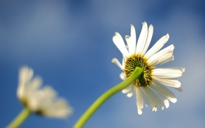 Picture flower, beautiful, daisy
