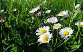 Picture field, summer, grass, summer, grass, field, Daisy, Daisy, marguerite