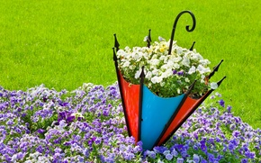 Picture umbrella, Pansy, flowerbed, viola
