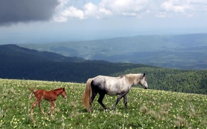 Picture nature, tail, Horse, horses, hooves, foal