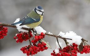 Wallpaper snow, berries, bird, on the branch, Rowan, titmouse