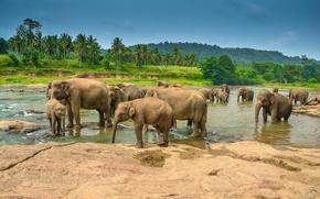 Picture landscape, tropics, river, palm trees, elephants, drink, the herd